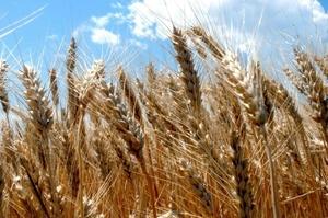 Врожай зернових та олійних у 2020 році скоротиться на 5,8% — УЗА