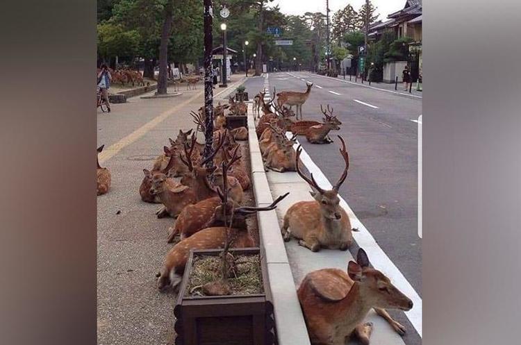 Поки люди вдома на карантині, на вулиці міст приходять дикі тварини (ФОТО)