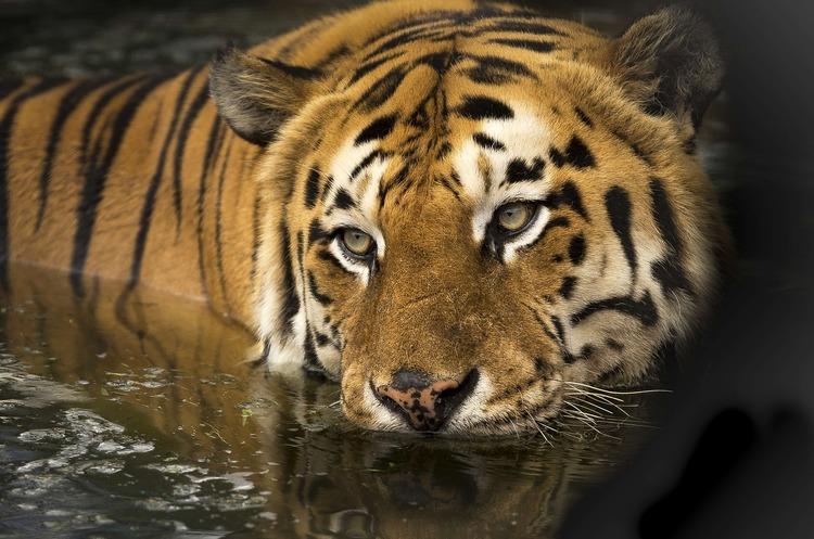 В зоопарку Нью-Йорка на коронавірус захворіла тигриця