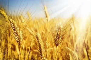 Темпи експорту української пшениці скоротились втричі в квітні