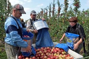 Поляки не можуть замінити українських працівників – голова Асоціації переробників фруктів та овочів
