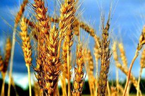 Мінсільгосп США прогнозує обсяг врожаю пшениці в Україні в 28 млн тонн у наступному сезоні