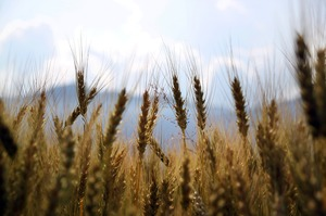 Зі складів Держрезерву вкрали зерна з «подушки безпеки» країни на 800 млн грн