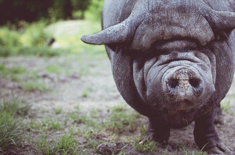 Вакцина від африканської чуми свиней успішно пройшла ранні випробування
