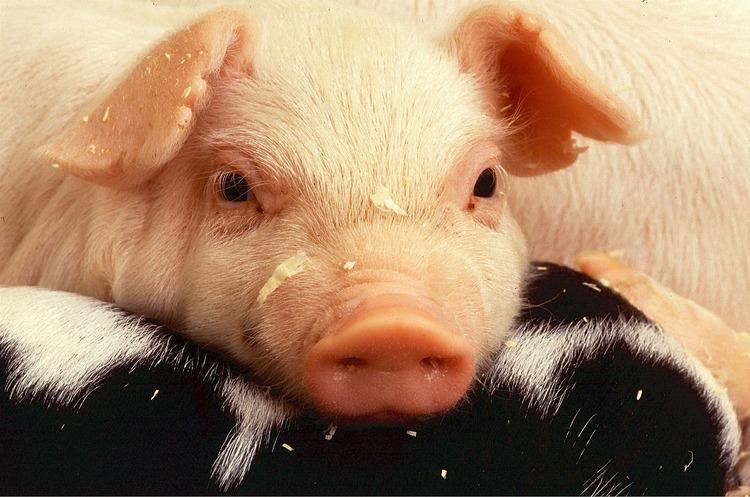 Асоціація «М'ясної галузі» започаткувала проект збільшення стада свиней в Україні до 20 млн