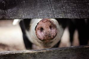 В Китае открыли новый штамм вируса свиного гриппа