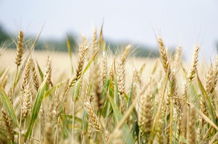 Державна продовольчо-зернова корпорація розпочала прийом зерна врожаю-2020