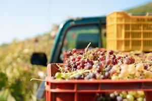 В Україні буде нове професійне свято – День виноградаря і винороба
