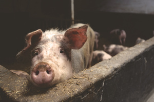 У Білоцерківському районі Київщини зафіксований спалах африканської чуми свиней