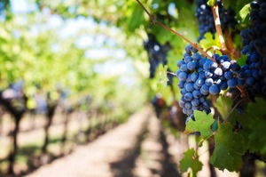 Виробники шампанського у Франції домовилися зібрати лише частину урожаю винограду