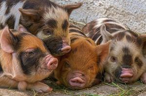 Україна ввела обмеження на імпорт живих свиней і продукції з них з ФРН через спалах АЧС