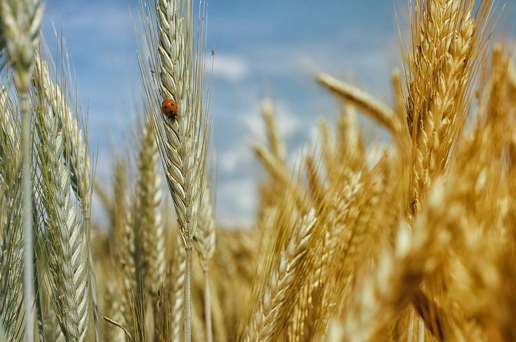 Експорт українського зерна з початку сезону 2020/21 років упав на 10,6%