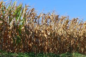 Китай планував запровадити «зелене паливо», але на заваді став дефіцит кукурудзи