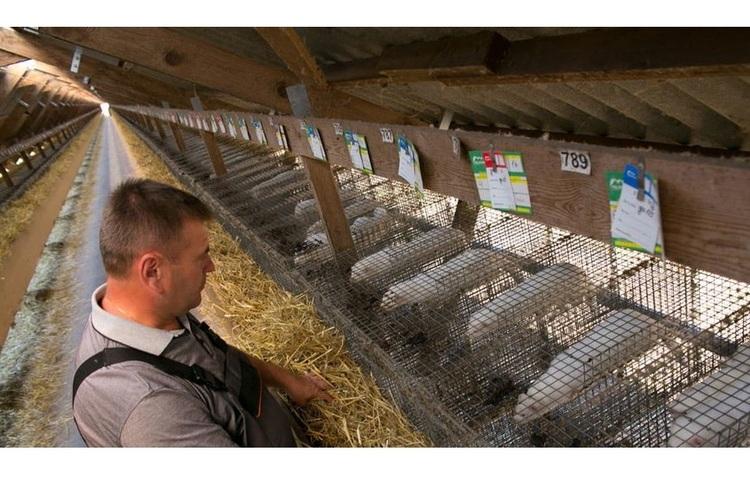В Данії вирішили знищити всі 12 млн норок на хутрових фермах через коронавірусну інфекцію