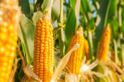 В Україні фіксують найнижчий за 5 років врожай кукурудзи