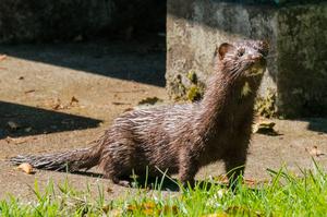 На норковій фермі в Литві знищать 40 000 тварин через COVID-19