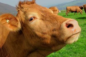 Голландська Royal DSM розробила добавку, яка зменшить обсяги викиду метану коровами