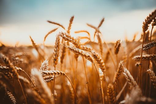 Посів озимих під урожай-2021 скоротився на 9,3% до минулого року