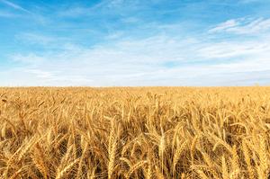 Україна у 2020 році скоротила експорт пшениці на 1,8% і кукурудзи на 6,4%