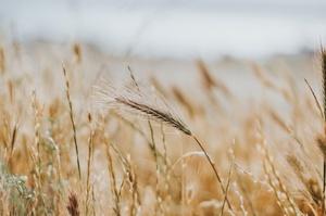 Цьогоріч очікується рекордний врожай зернових – Мінекономіки