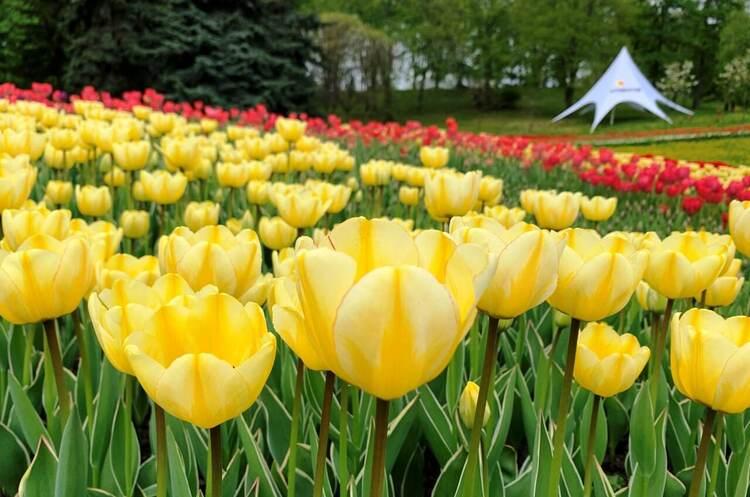 Понад 700 тисяч квітів. У столичному парку Співоче відкрили щорічну виставку тюльпанів