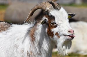 Уряд виділить 1,15 млрд грн на підтримки розвитку тваринництва та переробки с/г продукції