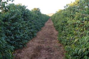 Світ може зіткнутись з дефіцитом апельсинів та кави через відсутність опадів в Бразилії