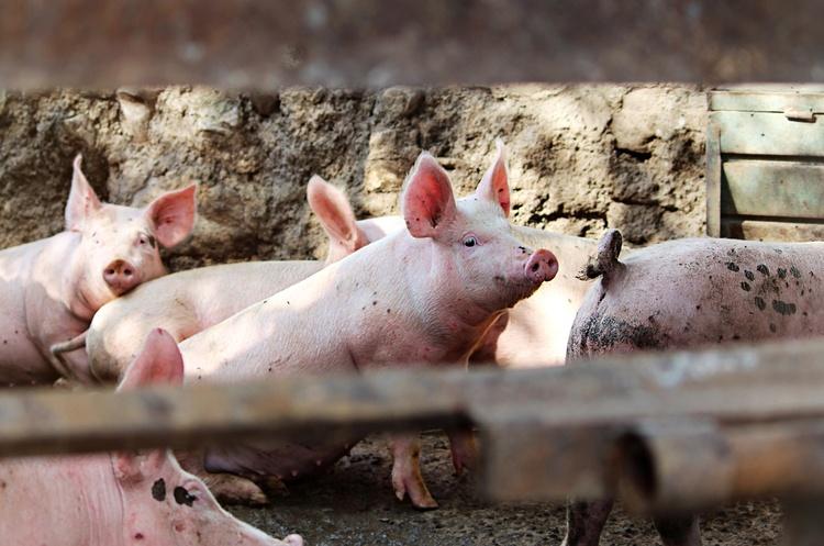 Асоціація «М'ясної галузі» просить повернути ставку ПДВ у 20% на живих свиней та ВРХ