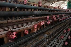 В Євросоюзі введуть заборону на утримування сільськогосподарських тварин у клітках