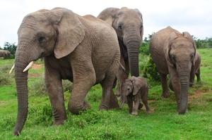 Великобританія заборонить утримувати слонів у зоопарках