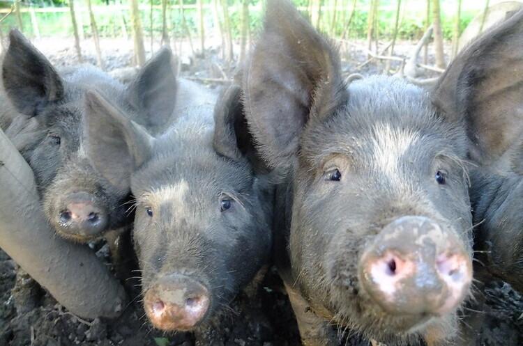 Скорочення імпорту свинини в Китай обіцяє знизити світові ціни на харчові продукти