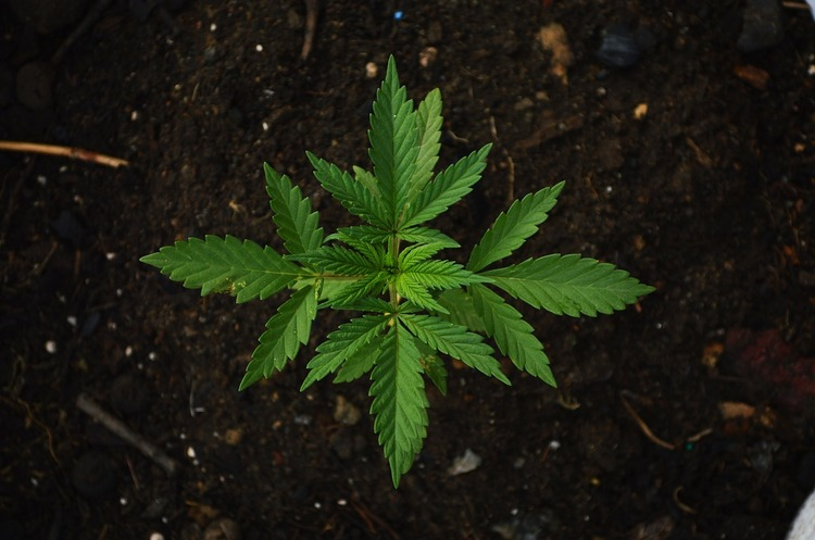 Демократи США готують новий план з легалізації марихуани