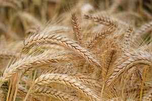 Україна вже зібрала 14 млн тонн зернових