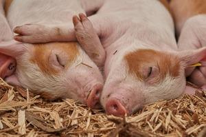 Повернення ПДВ 20% позитивно вплине на свинарство – директор АМГ