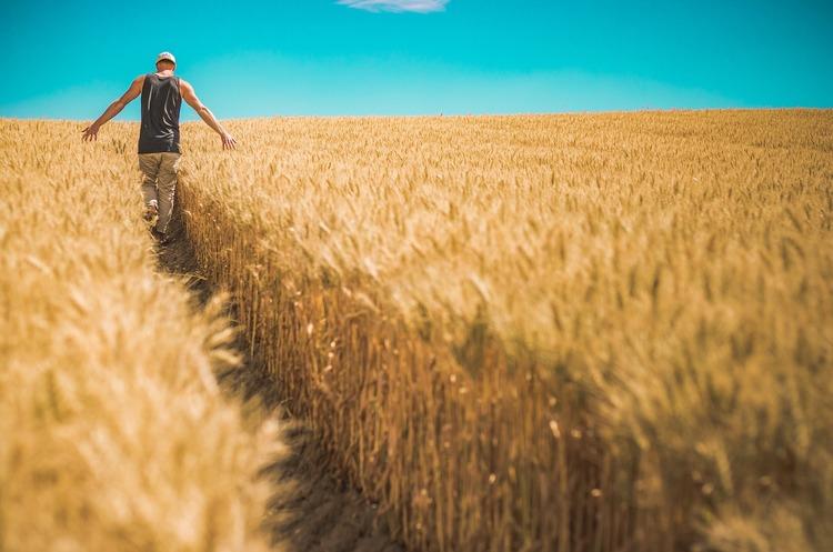 Україна зібрала рекордний урожай ранніх зернових та зернобобових культур