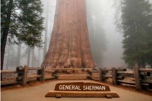 Каліфорнійські лісові пожежі загрожують найбільшому дереву в світі – «Генералу Шерману»