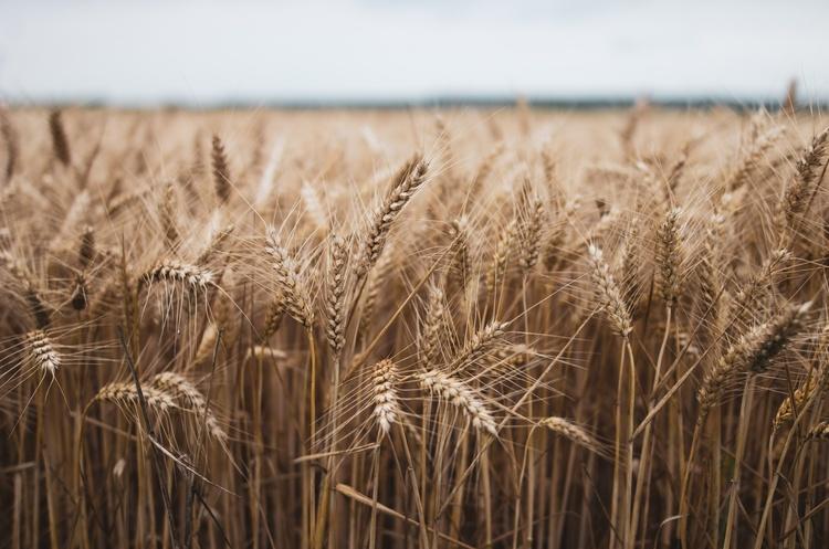 Запаси зерна критично низькі - Держрезерв