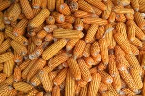 Україна прагне відкриття ринку США для української кукурудзи та пшениці