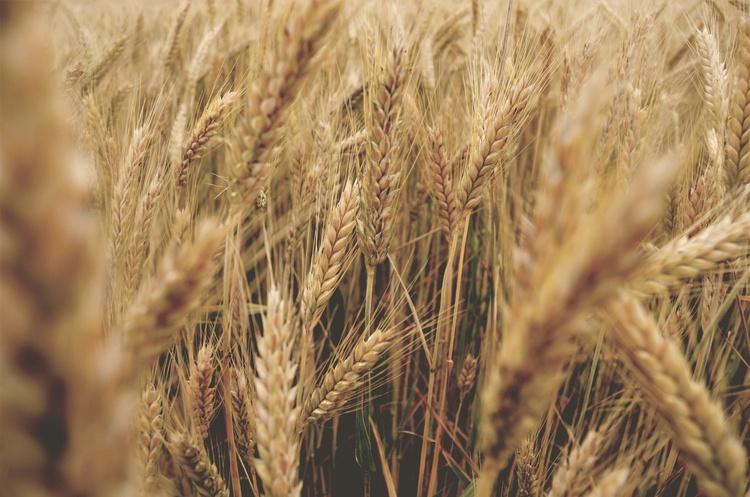 Україна в 2021 році може зібрати рекордний урожай зерна – прогноз УЗА